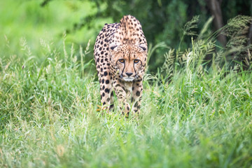 Portrait of cheetah walking on grassy landscape