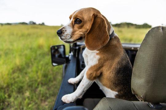 Beagle dog sitting in vehicle