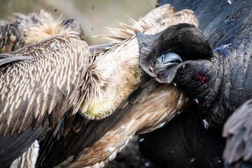 White backed vultures feeding on white rhinoceros carcass