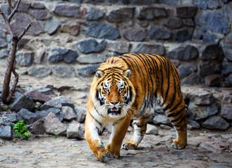 Wall Mural - Beautiful Amur tiger