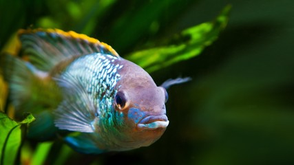 freshwater colorful adult male cichlid Nannacara anomala neon blue facing the camera