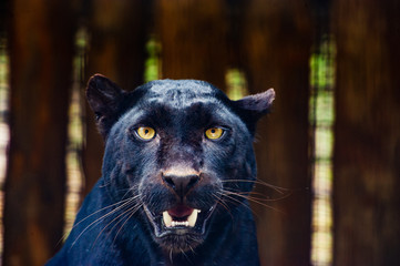 Zelfklevend Fotobehang Panter Beautiful black Panther