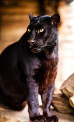 Wall Mural - Beautiful black Panther
