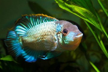 freshwater spectacular and colorful male cichlid of Nannacara anomala neon blue, showing spawning behaviour