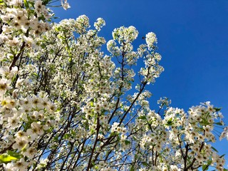 Fototapete - Bradford pear blossoms against a blue sky
