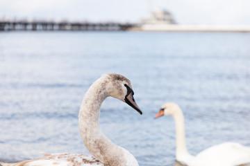 grey swan portrait profile beak, baltic sea