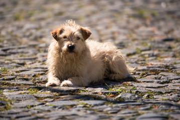 Cão em calçada de pedra