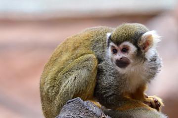 Close up portrait of a squirrel monkey