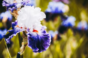 Iris coloré dans un jardin