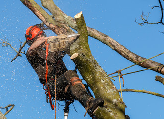 Chainsaw in use by a tree surgeon high up in a tree being felled.  Sawdust and chippings are flying through the air