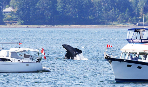 Orca Killer Whale Breaching between two Pleasure boats, close to shore.  Vancouver Island, Canada