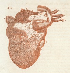 Anatomy Heart Sibly