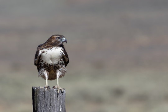 A red-tailed hawk perches on a fence post near Susanville, California