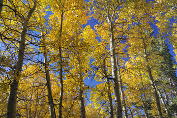 Background of Aspen trees with fall colors against a blue bright sky.