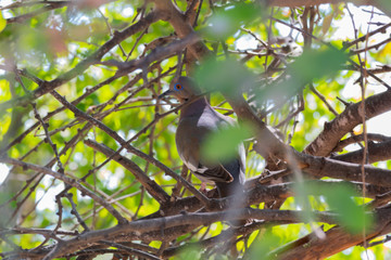 Small pigeon among the leaves of a tree