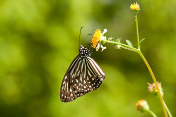 Dark Glassy Tiger butterfly is feeding on white flower