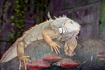 A close up of a green iguana