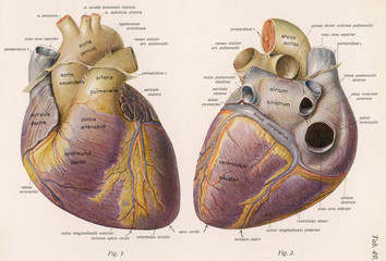 Diagram Illustration of the Human Heart