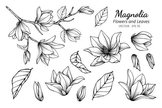 Collection set of magnolia flower and leaves drawing illustration.