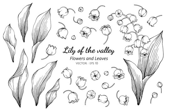 Collection set of lily of the valley flower and leaves drawing illustration.