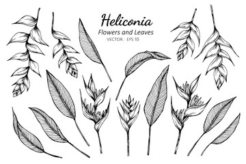 Collection set of heliconia flower and leaves drawing illustration.