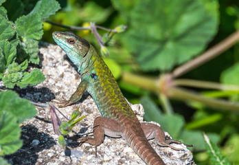 Closeup of a Green and Turquoise Lizard on a Sunny Day in Italy