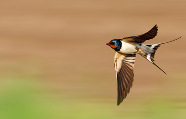 barn swallow flies fast Fotoväggar