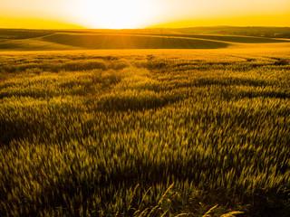 Golden sunrise over wheat plantation at summer