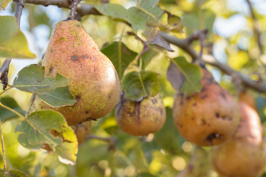Disease of the pear tree, scabies on the pears