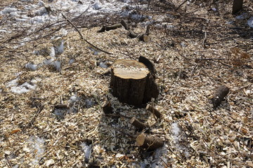 Felled trees. Stump and wood chips. The concept of bad ecology. Cutting down trees.