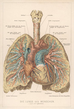 Front View of Lungs