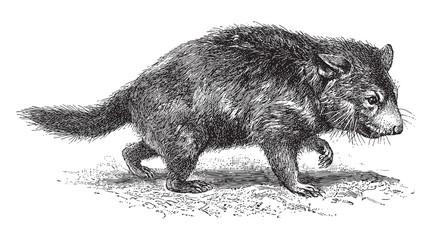 Tasmanian devil (Diabolus ursinus) / vintage illustration from Meyers Konversations-Lexikon 1897
