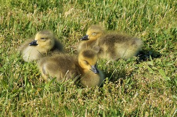 Three canadian goose chicks with closed eyes sit in the grass and sunbathe