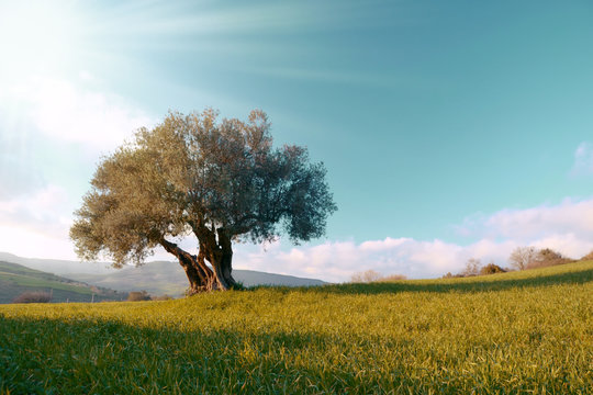 lonely olive tree in the field