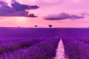 Poster Violet Stunning landscape with lavender field at sunset. Blooming violet fragrant lavender flowers with sun rays with warm sunset sky.