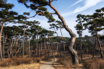 pine tree forest in haemieupseong
