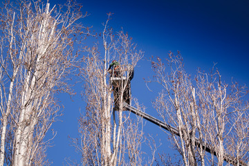 Pruning of tall trees