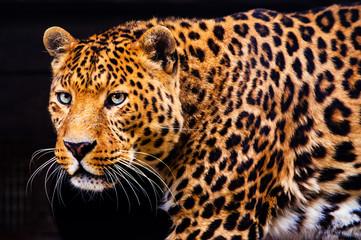 Wall Mural - Portrait of a beautiful leopard