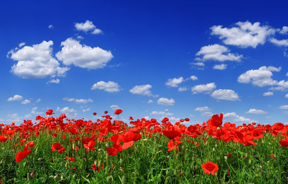 Idyllic view, meadow with red poppies blue sky in the background