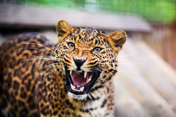 Portrait of a beautiful leopard