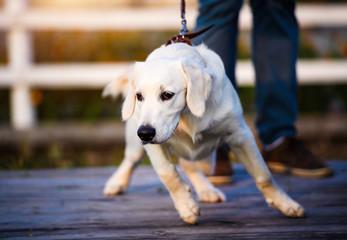 Golden retriever dog puppy in the park