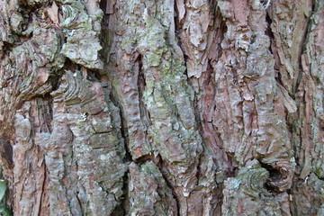 Waldkiefer - Pinus sylvestris - Gewöhnliche Kiefer - Rotföhre - Weißkiefer - Rinde