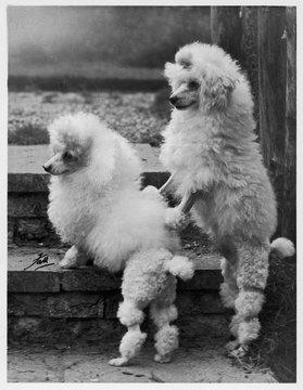 Fall Mini Poodle Pair