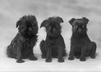 Fall Griffon 3 Pups