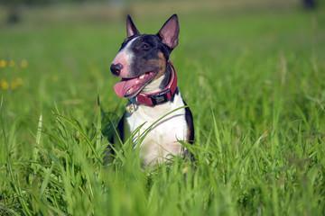 miniature bull terrier on the grass