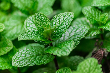 Mint leaves, in the plant, close view