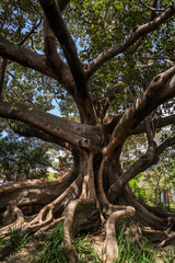 Moreton Bay Fig tree, Camperdown Cemetery, a historic cemetery located on Church Street in Newtown inner suburb, Sydney, NSW, Australia