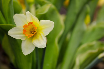 Portrait of white-yellow narcissus flower in the spring garden