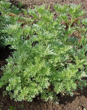 Wermut; Artemisia, Absinthium