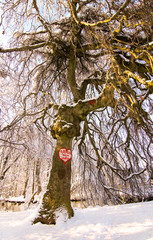 Printed kitchen splashbacks Roe love heart crved into giant ree trunk, winter landscape
